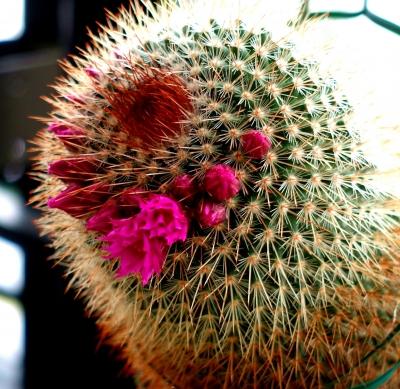 サボテン花 ピンク
