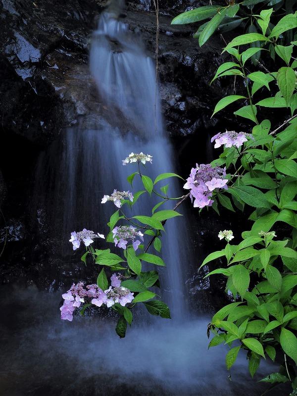 滝と紫陽花1