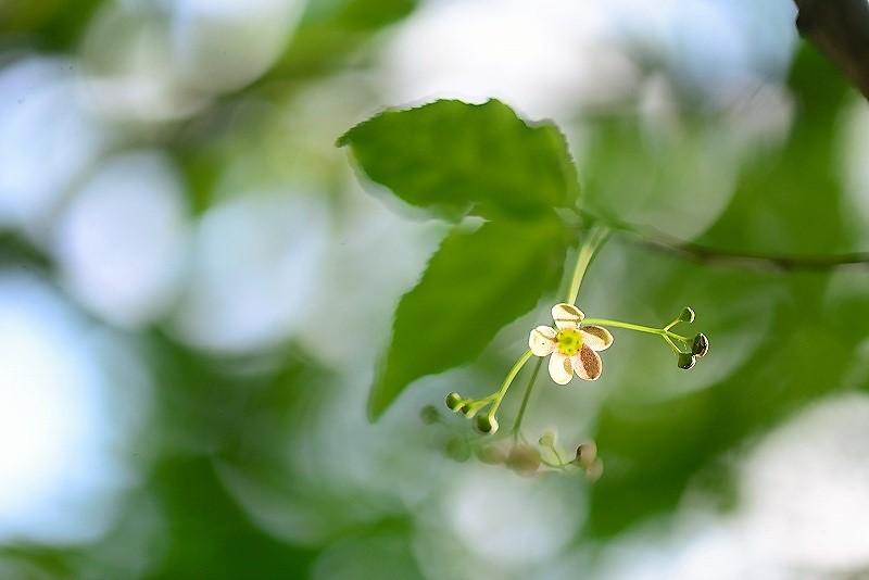 ツリバナの花