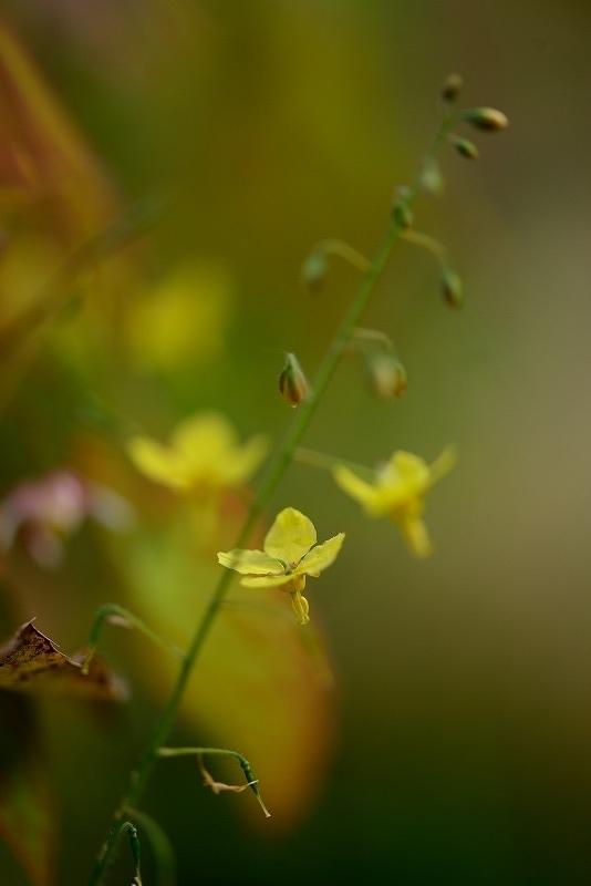 黄花イカリ草