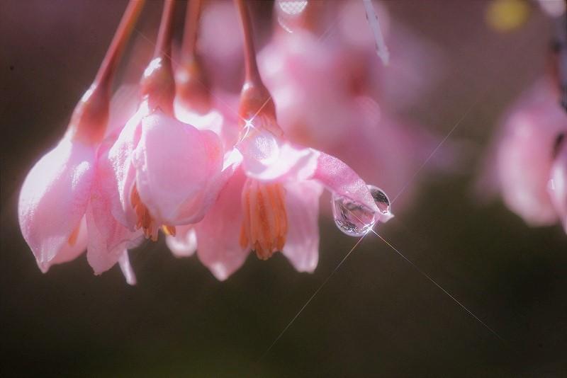 ピンクのエゴの花6