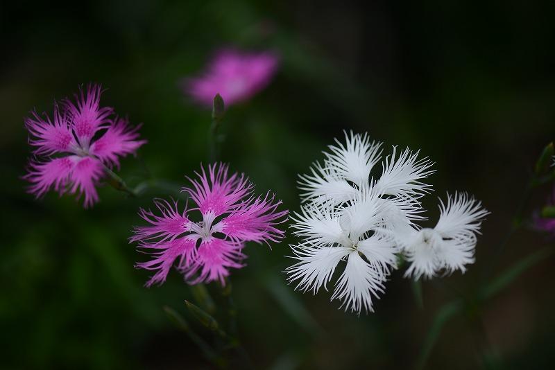 カワラナデシコのピンク・白