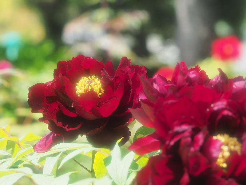 バラ園の牡丹8(豊楽門)