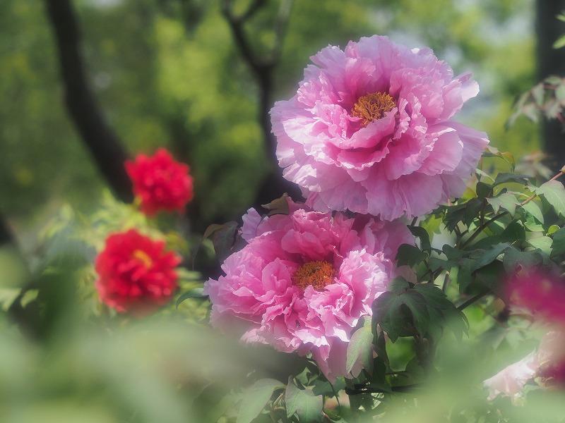 バラ園の牡丹6