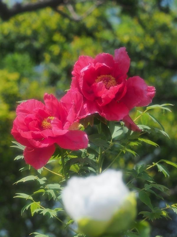 バラ園の牡丹9t