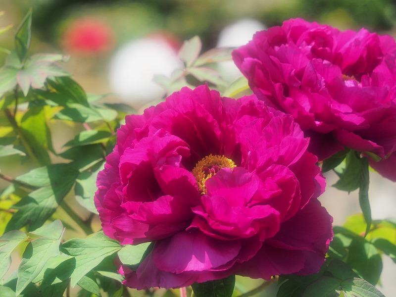 バラ園の牡丹10