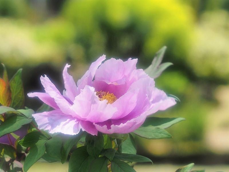 バラ園の牡丹14