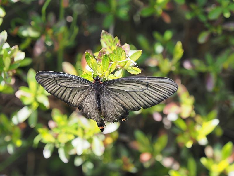 黒い蝶1?