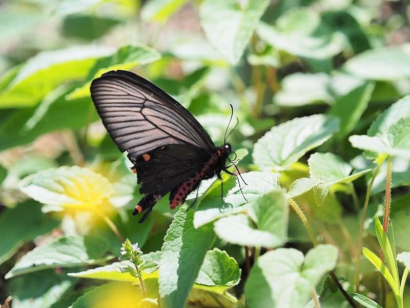 黒い蝶2?
