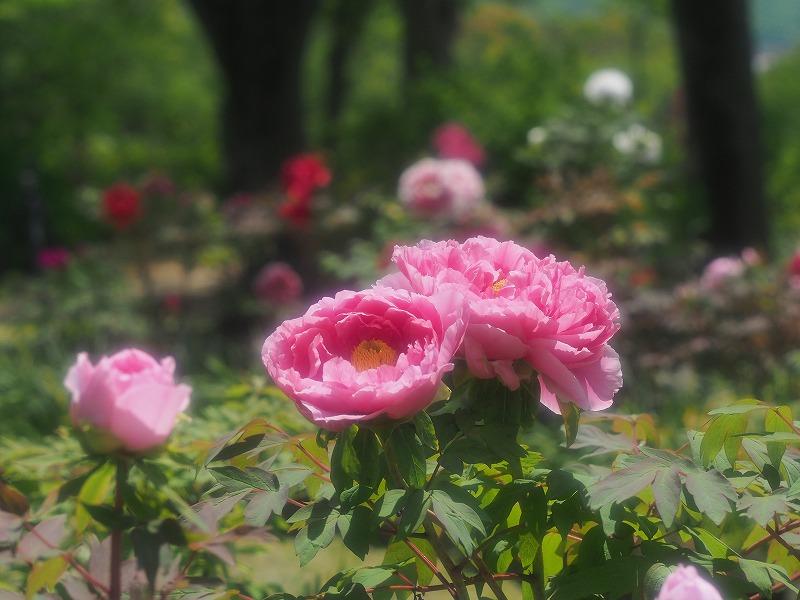 バラ園の牡丹17