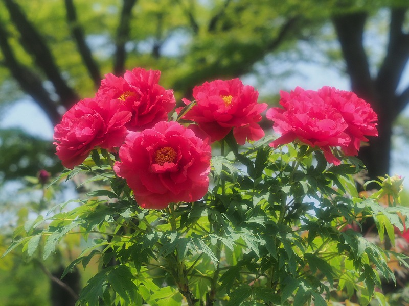 バラ園の牡丹18