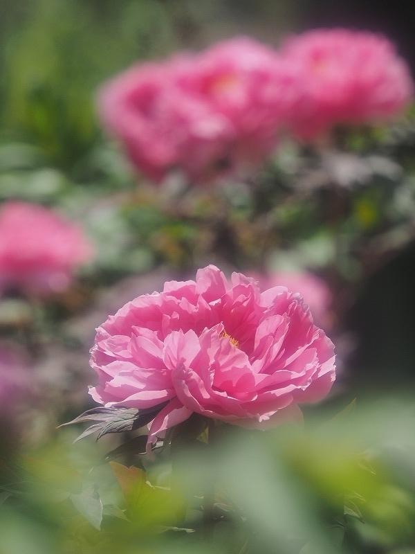 バラ園の牡丹19t