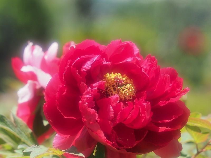 バラ園の牡丹20