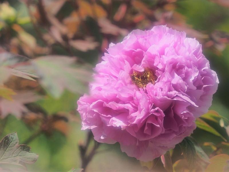 バラ園の牡丹21