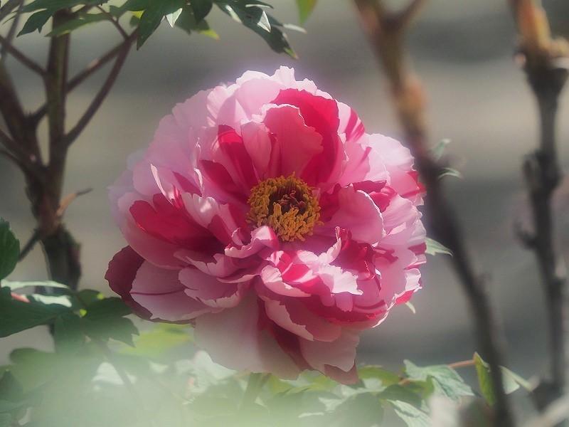 バラ園の牡丹23