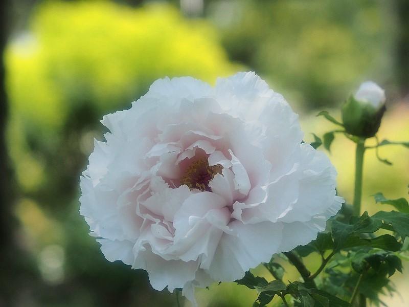 バラ園の牡丹24
