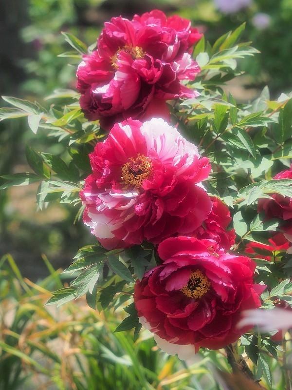 バラ園の牡丹26