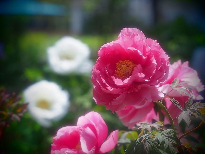 バラ園の牡丹27