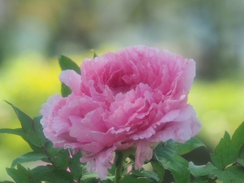 バラ園の牡丹28