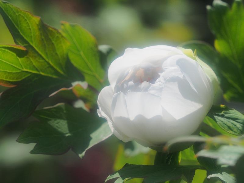 バラ園の牡丹31