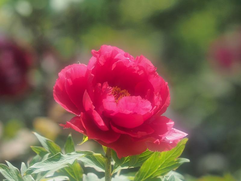 バラ園の牡丹32