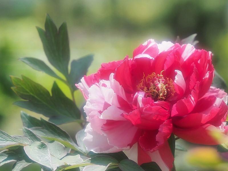 バラ園の牡丹29