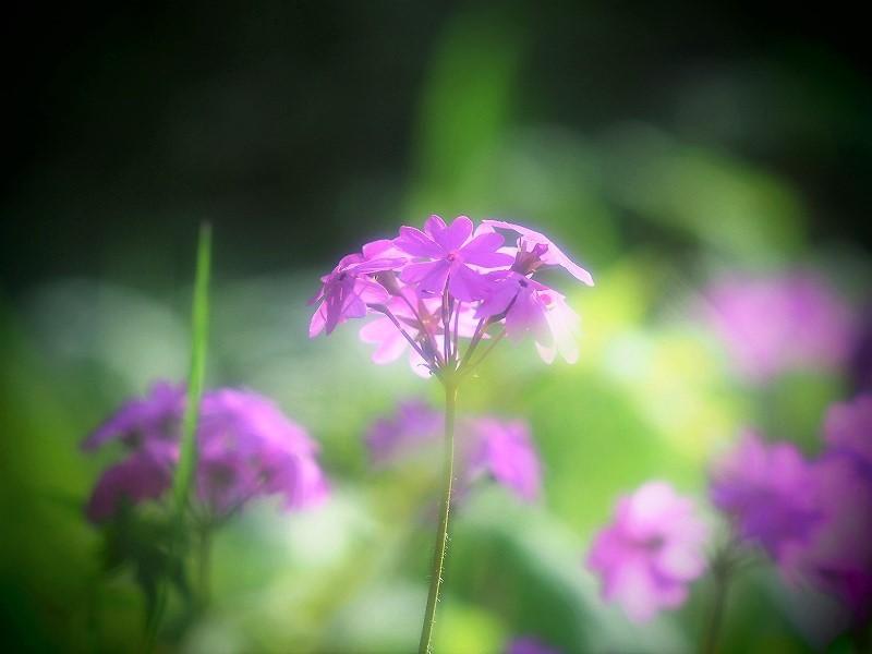 日本サクラ草6