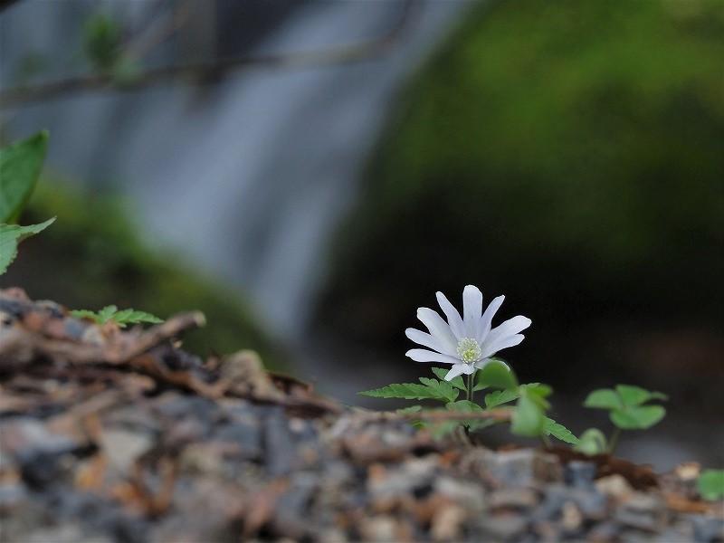 淵に咲くキクザキイチゲ