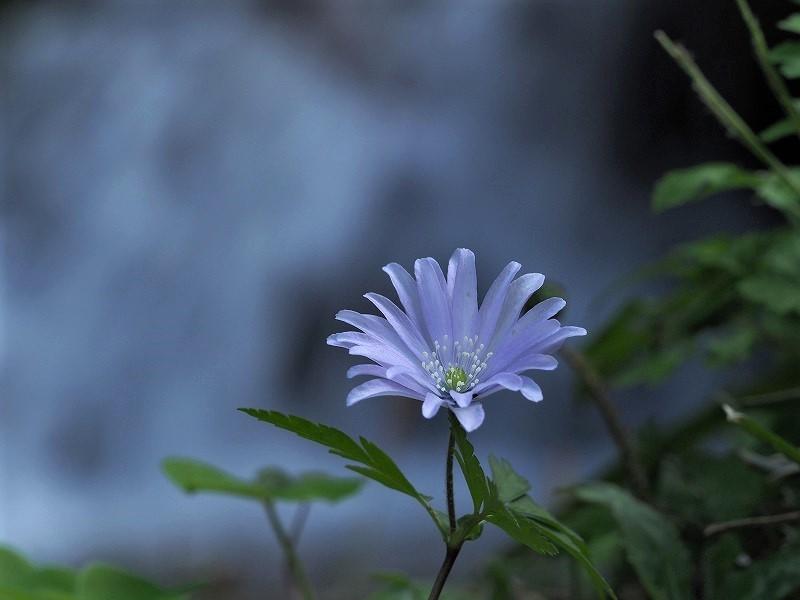 淵の側に咲く八重のキクザキイチゲ2