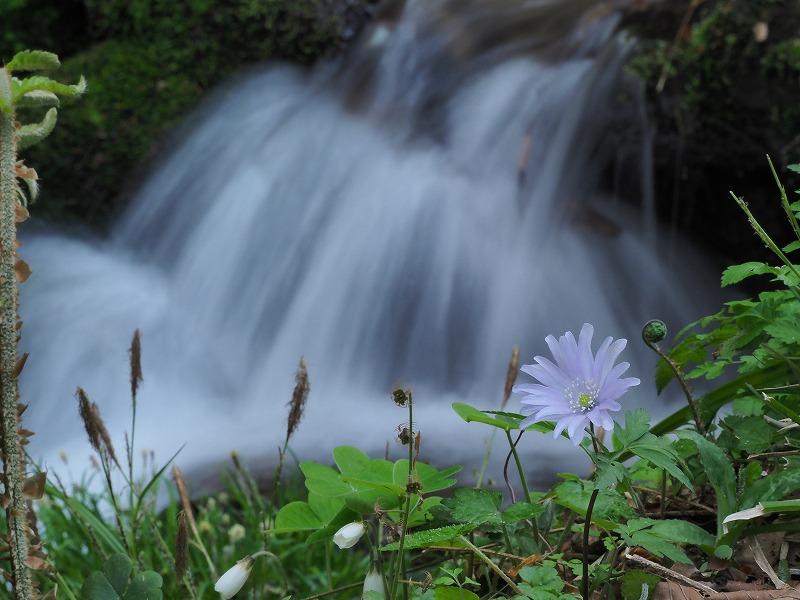 淵の側に咲く八重のキクザキイチゲ1
