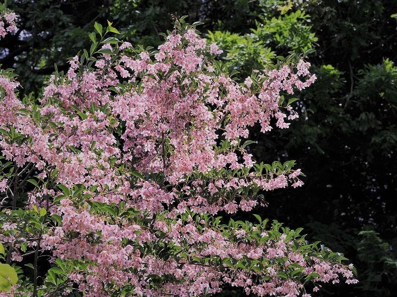 ピンクのエゴの花1