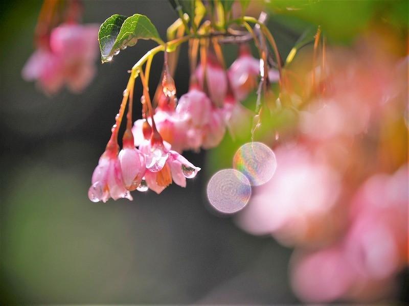 ピンクのエゴの花5