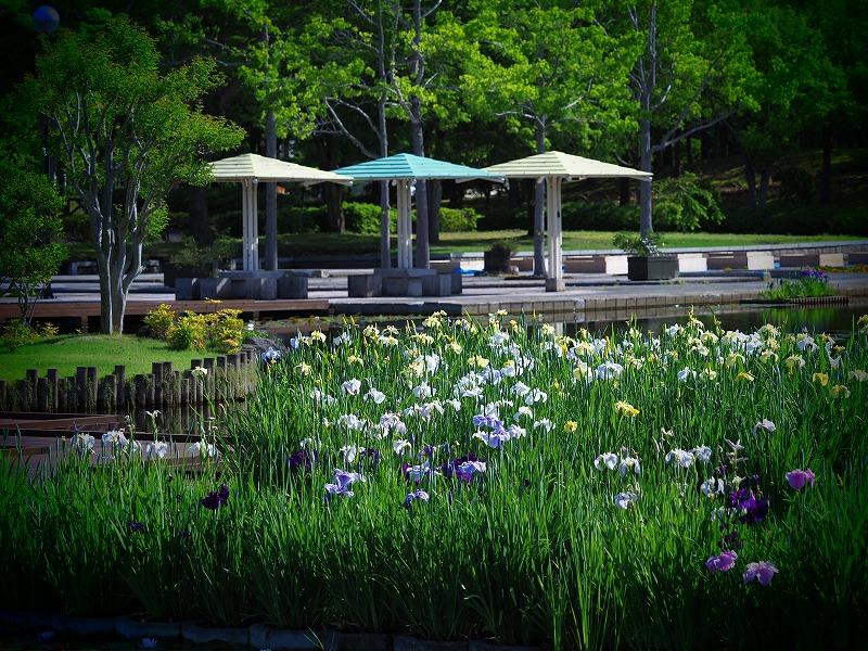 あやめ池公園8