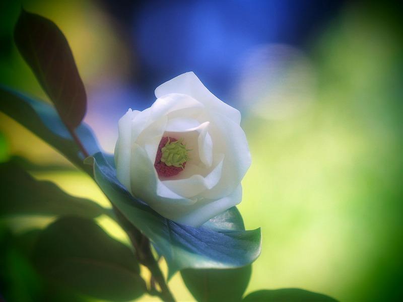 八重咲き美智子蓮華1