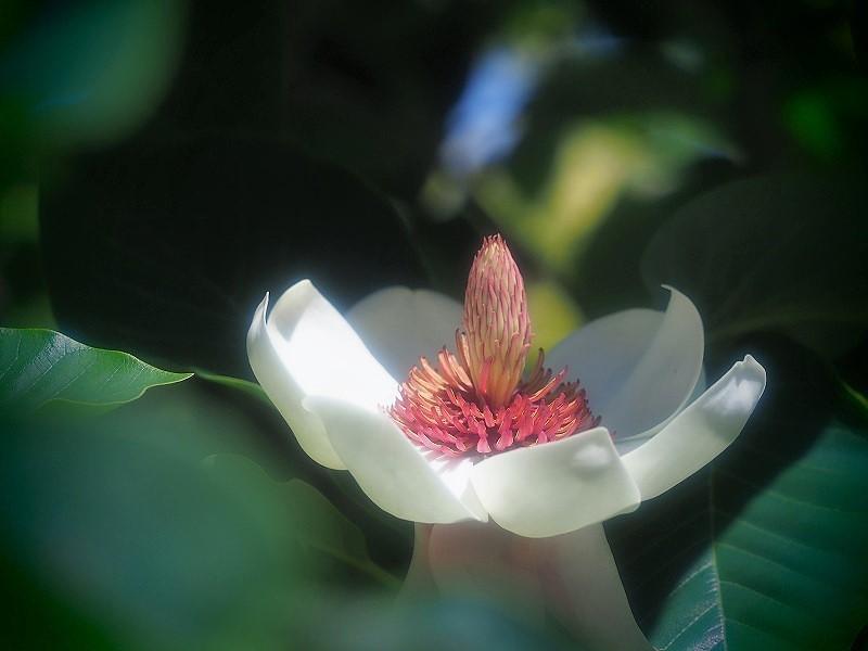 受け咲き大山蓮華2
