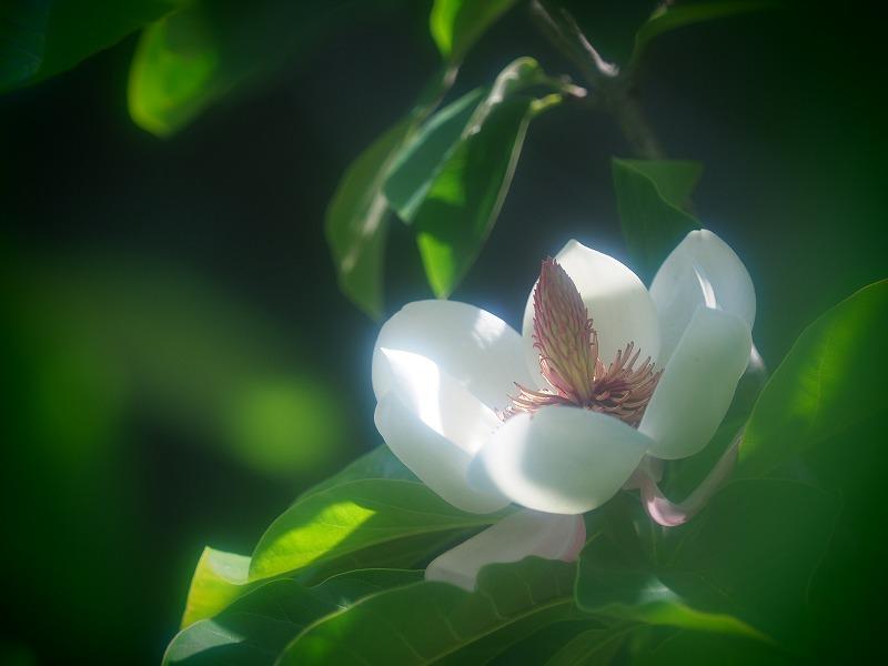 受け咲き大山蓮華1