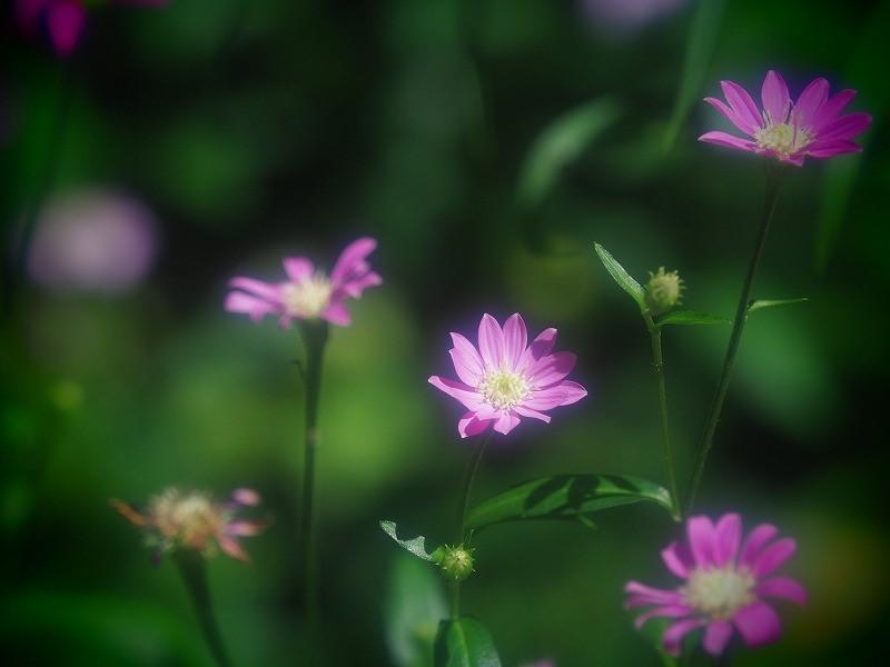 ピンクのヨメナ