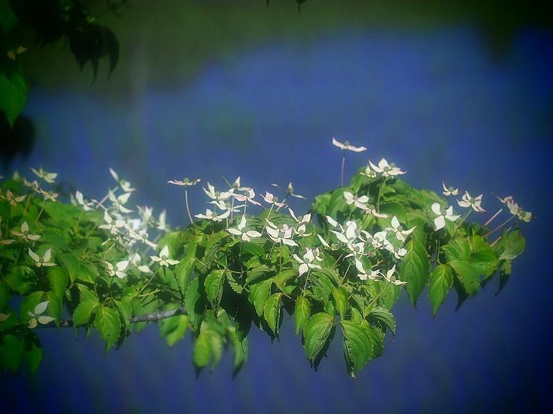 白いヤマボウシ1