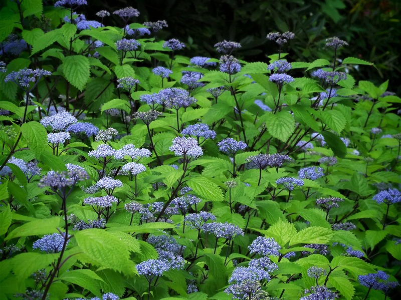 小紫陽花1