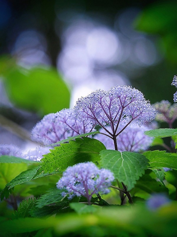 小紫陽花6