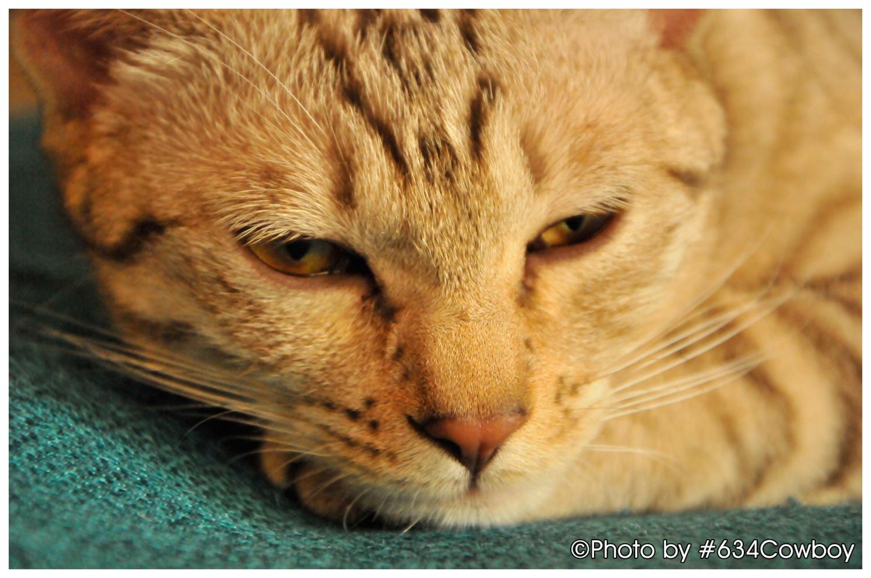 ねむたい猫 写真