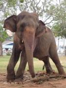 公園につながれていた象さん(Uthpalawanna Sri Vishnu Devalaya)(2017/2/19)