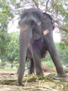公園につながれていた象さん。鎖が短すぎてかわいそうだった(Uthpalawanna Sri Vishnu Devalaya)(2017/2/19)