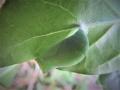 ヒカゲチョウの蛹