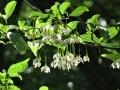 エコノキの花