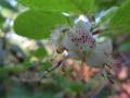日笠の下の梅花躑躅