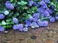 何故か沢に零れる紫陽花