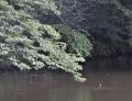 雨の鴛鴦沼