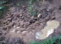 ヌタバと化した希少植物自生地