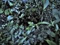 ジョロウグモ幼体